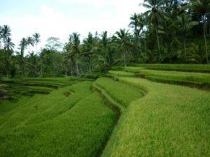 rijstterrassen in de bergen van Bali